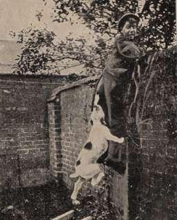 1907 Postcard bulldog bully pitbull dog saves the day