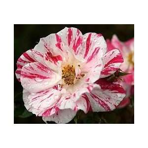 Stars and Stripes Rose Seeds Packet Patio, Lawn & Garden