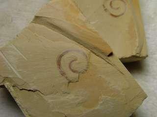 RC::Maotianshania ChengJiang Rare Worm fossil #1205rcaX