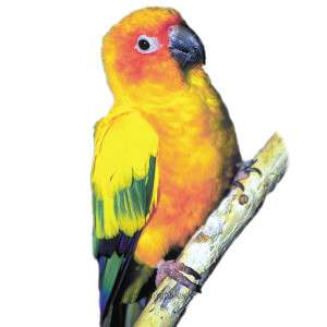 Sun Conure   Bird   Live Pet