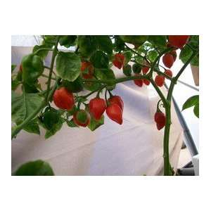 : West Indies Red Habanero Hot Pepper 10+ Seeds: Patio, Lawn & Garden