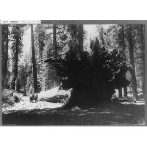 trees,roots,plants,Yosemite National Park,California,CA,c1902 Home