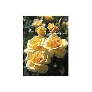 Welcome Home Hybrid Tea Rose Patio, Lawn & Garden